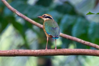 Indian Pitta - Pitta brachyura