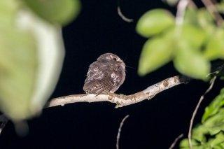 Moluccan Owlet-nightjar - Aegotheles crinifrons