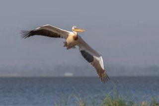 Pink-backed Pelican - Pelecanus rufescens