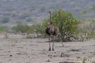 Somali Ostrich (f) - Struthio molybdophanes