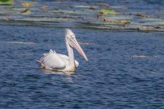 Spot-billed Pelican - Pelecanus philippensis