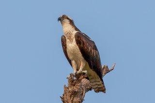 Western Osprey - Pandion haliaetus