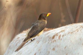 Yellow-billed Oxpecker - Buphagus africanus