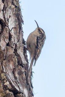 Bar-tailed Treecreeper - Certhia himalayana