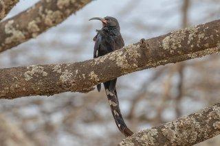 Black-billed Wood Hoopoe - Phoeniculus somaliensis