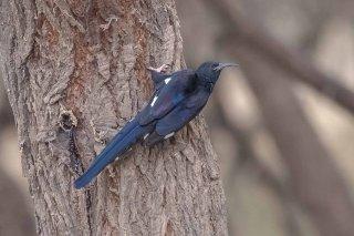 Black Scimitarbill - Rhinopomastus aterrimus