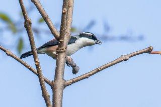 Blyth's Shrike-babbler - Pteruthius aeralatus