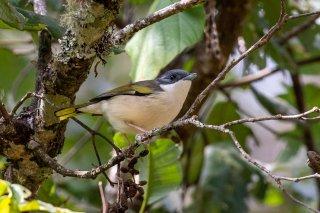 Blyth's Shrike-babbler (f) - Pteruthius aeralatus