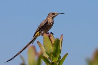 Cape Sugarbird - Promerops cafer