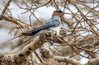 Crested Treeswift - Hemiprocne coronata