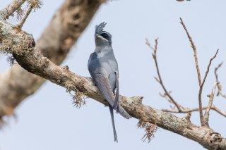 Crested Treeswift (f) - Hemiprocne coronata