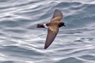 Elliot's Storm Petrel - Oceanites gracilis