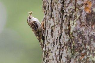 Eurasian Treecreeper - Certhia familiaris