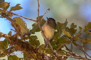 Green Shrike-babbler - Pteruthius xanthochlorus