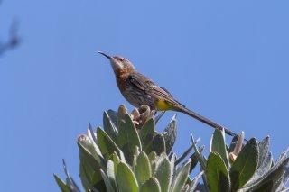 Gurney's Sugarbird - Promerops gurneyi