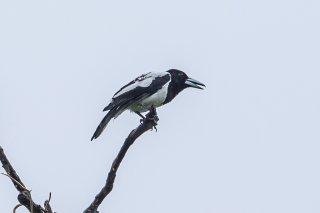 Hooded Butcherbird - Cracticus cassicus