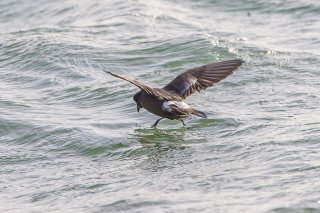 Leach's Storm Petrel - Oceanodroma leucorhoa