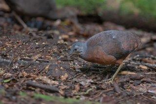 Little Tinamou - Crypturellus soui