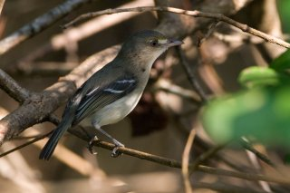 Mangrove Vireo - Vireo pallens