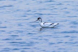 Pied Avocet - Recurvirostra avosetta