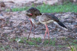Red-legged Seriema - Cariama cristata
