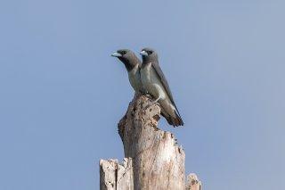 White-breasted Woodswallow - Artamus leucorynchus