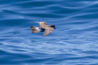 Wilson's Storm Petrel - Oceanites oceanicusbb
