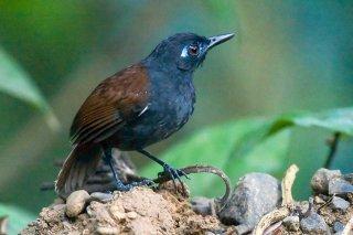 Chestnut-backed Antbird - Poliocrania exsul