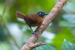 Chestnut-backed Antbird (f) - Poliocrania exsul