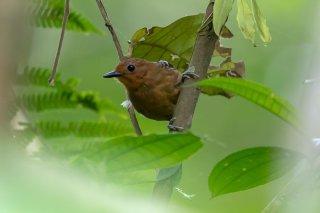 Common Scale-backed Antbird (f) - Willisornis poecilinotus