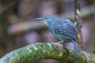 Silvered Antbird - Sclateria naevia