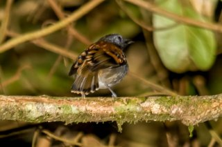 Spotted Antbird - Hylophylax naevioides