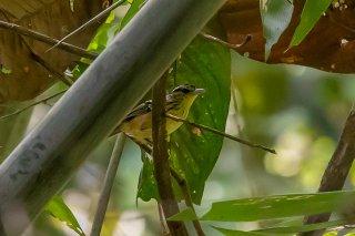 Striated Antbird - Drymophila devillei
