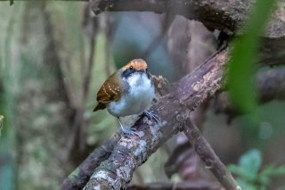 White-browed Antbird (f) - Myrmoborus leucophrys