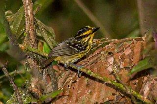 Yellow-browed Antbird - Hypocnemis hypoxantha