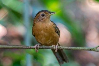 Brown-capped Babbler - Pellorneum fuscocapillus