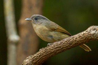 Brown-cheeked Fulvetta - Alcippe poioicephala