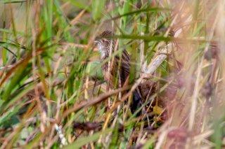 Chinese Grassbird - Graminicola striatus