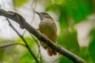 Horsfield's Babbler - Turdinus sepiaria