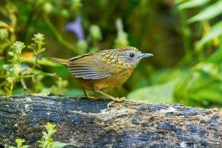 Streaked Wren-Babbler - Turdinus brevicaudata