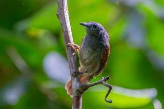 Chestnut-winged Babbler - Stachyris erythroptera