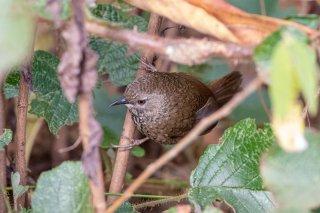 Chin Hills Wren-Babbler - Spelaeornis oatesi