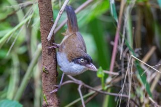 Dark-fronted Babbler - Rhopocichla atriceps