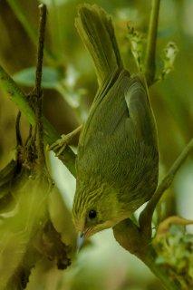 Golden Babbler - Stachyridopsis chrysaea