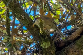 Streak-breasted Scimitar Babbler - Pomatorhinus ruficollis