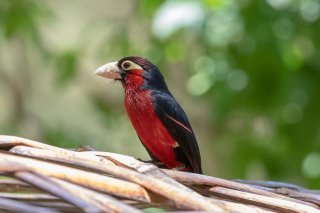 Double-toothed_Barbet.jpg