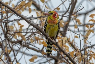 Red-and-yellow_Barbet.jpg