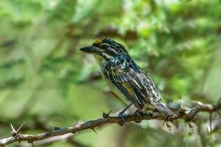 Yellow-fronted_Tinkerbird.jpg