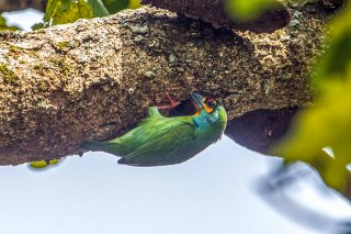 Red-fronted_Barbet.jpg