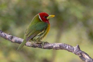 Red-headed_Barbet.jpg
